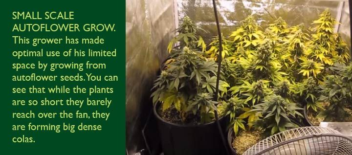 The A to Z Of Autoflower Seeds - Spliffseeds