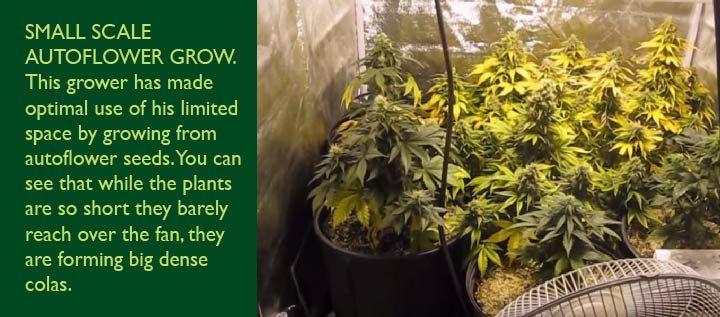 small autoflowering plants
