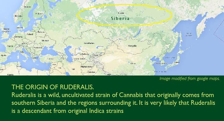map of russia with circle around Siberia where autoflower seeds are coming from
