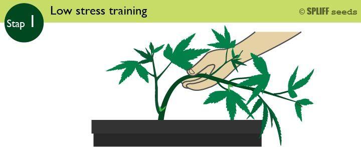 Stap 1 Low Stress Training