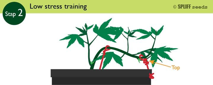 Stap 2 Low Stress Training