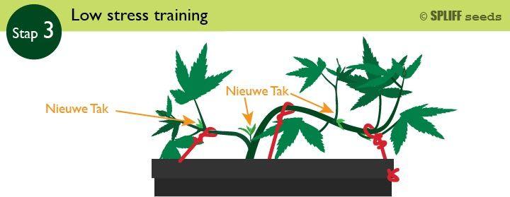Stap 3 Low Stress Training