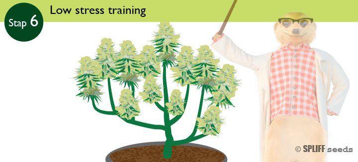 Stap 6 Low Stress Training
