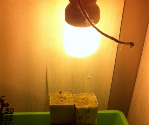 2 small autoflower cannabis plants close to the light