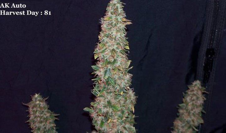 AK Automatic Bud Shot