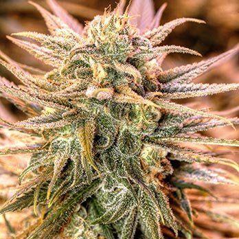 gold bar kush cannabis plant