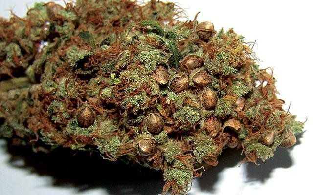 Image result for Don't You Wish You Had Free Marijuana Seeds?