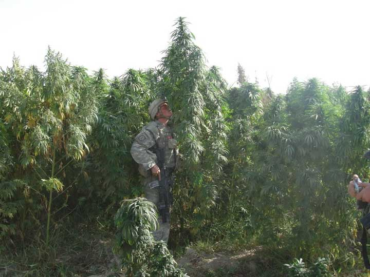 American soldier in Afghan cannabis field smelling the cannabis plants
