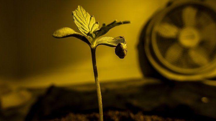 Germinación de semillas de marihuana autoflorecientes
