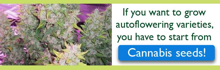 Click Here For Autoflowering Cannabis Seeds