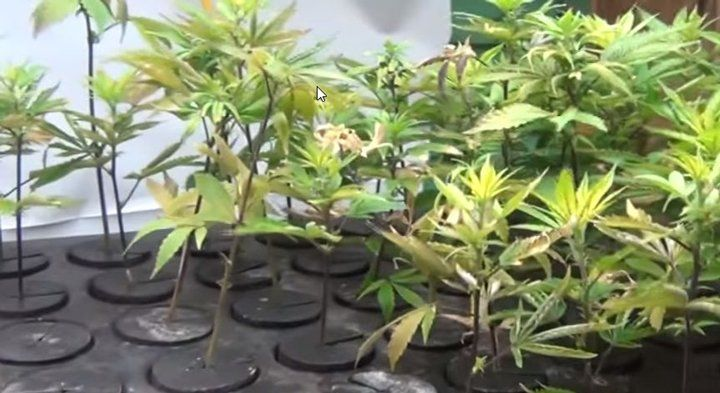 Bubbler For Making Perfect Cannabis Clones