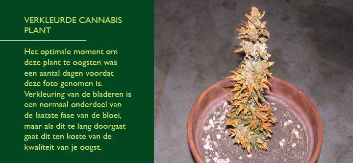 cannabisplant te laat geoogst en volledig uitgedroogd