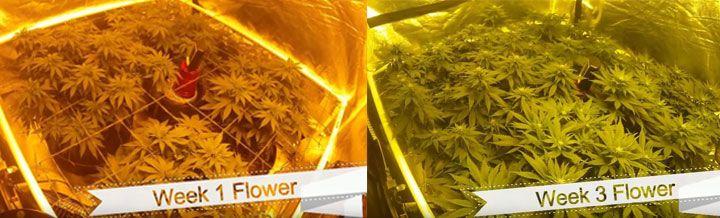 cannabis plant week 1 week 3 comparison