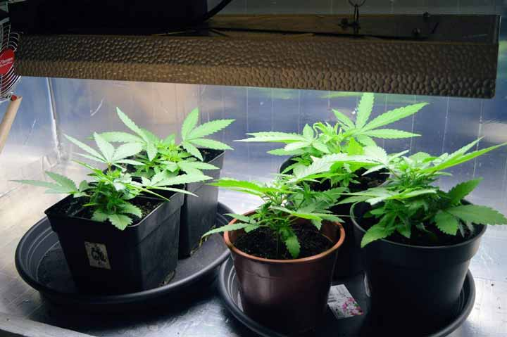 Cannabis Plants Full Sized 5 Fingered