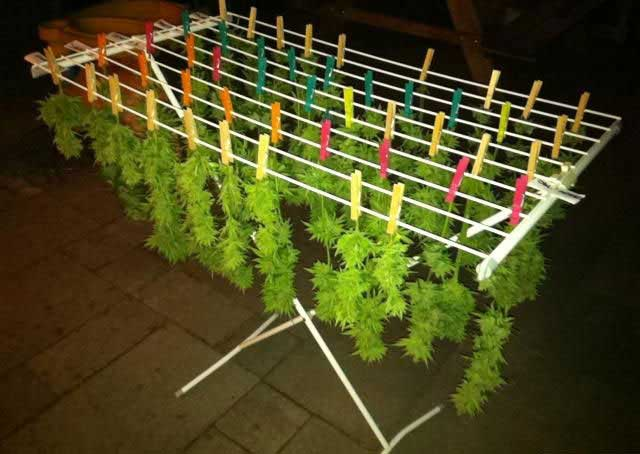 drying your buds on a drying rack