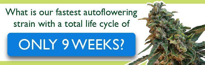 Fastest autoflowering strain