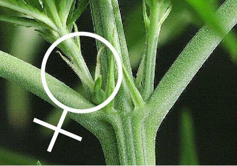Female Cannabis Plant