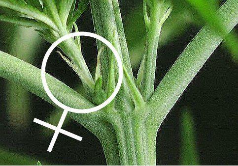 how to sex a marijuana plant