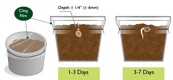 Germinating Marijuana Seeds method 1
