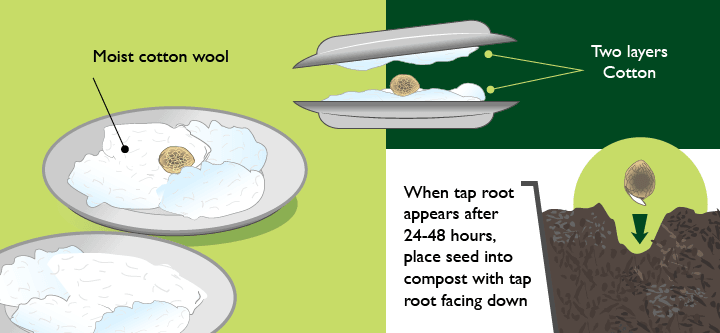 Germinating Marijuana Seeds Method 2