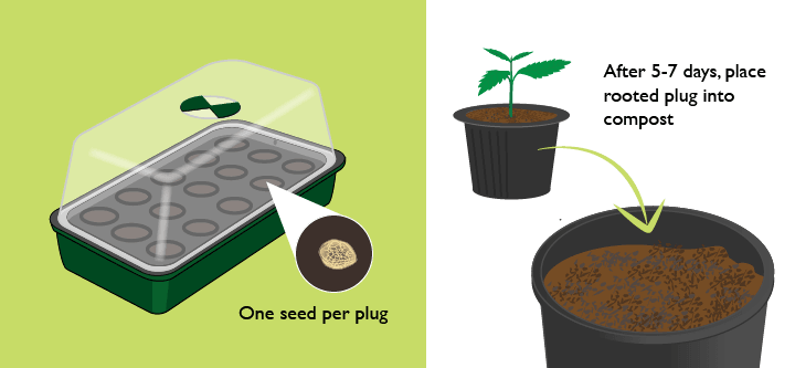 Germinating marijuana seeds in a propagator