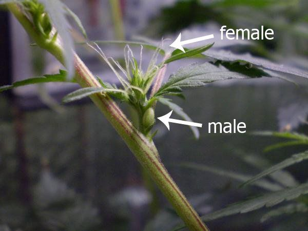 Hermaphrodite Cannabis Plant