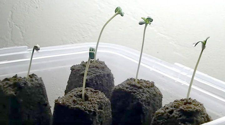 little cannabis plants