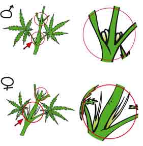 Male and female marijuana flower