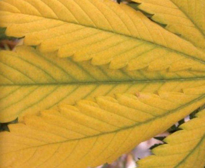 Nitrogen deficient leaf