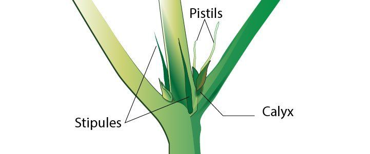 Pistil from cannabis plant