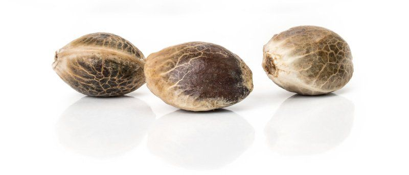 Quality Cannabis Seeds