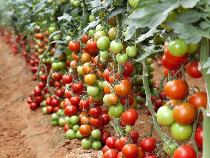 Tomato Plants Defoliation