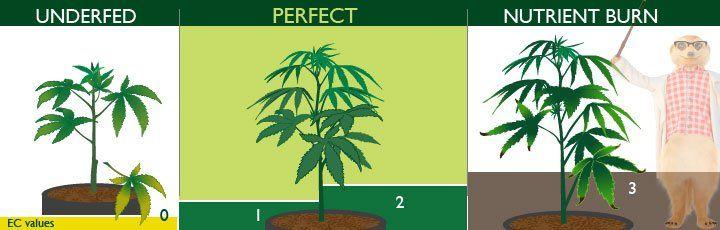 underfed cannabis plant vs nutrition burn cannabis plant