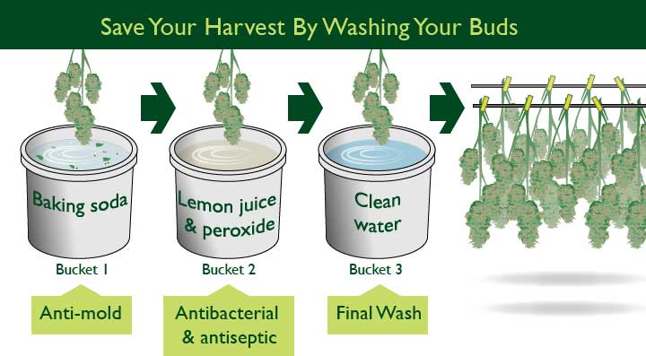 steps to washing your buds