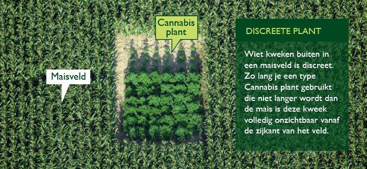 Cannabis Plant In Maisveld