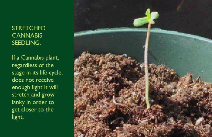 Cannabis Plant Seedling