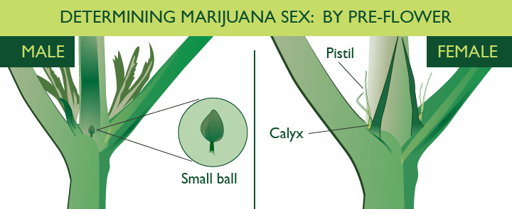Cannabis Early Signs Of Male Vs Female