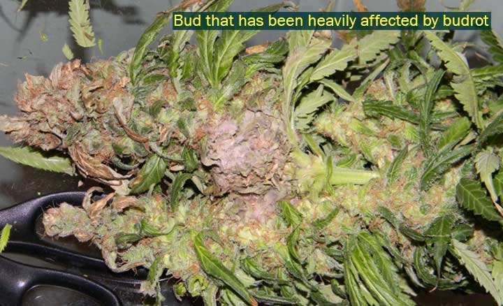 Heavily Affected bud rot