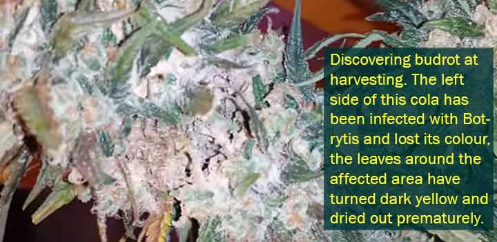 Discovering budrot at harvesting