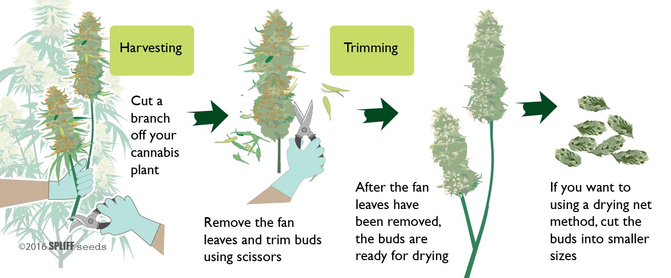 Drying cannabis step 1