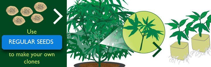 Click Here For Regular Cannabis Seeds